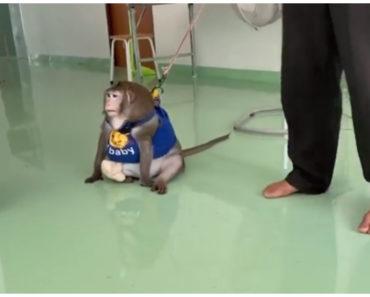 Szigorú diétára fogták a 19 kilós majmot – Godzilla kapron, salátán és tücskön él